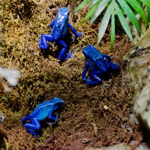 Blue Dart Frogs